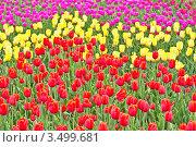 Фон из цветущих тюльпанов трех цветов. Стоковое фото, фотограф Владимир Сергеев / Фотобанк Лори