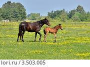Купить «Кобыла с жеребенком на летнем лугу», фото № 3503005, снято 2 мая 2012 г. (c) Julia Ovchinnikova / Фотобанк Лори