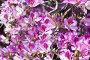 Баухиния пестрая (Bauhinia variegata), орхидейное дерево, фото № 3504533, снято 26 апреля 2012 г. (c) Наталья Волкова / Фотобанк Лори