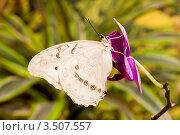 Бабочка Morpho polyphemus на цветке орхидеи. Стоковое фото, фотограф Александр Высоких / Фотобанк Лори