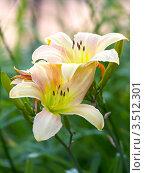 Купить «Лилии в саду», фото № 3512301, снято 26 июля 2011 г. (c) Владимир Борисов / Фотобанк Лори