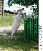 Купить «Белая коза», фото № 3513181, снято 1 июля 2010 г. (c) елена прекрасна / Фотобанк Лори