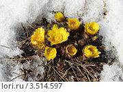 Купить «Адонис (горицвет весенний). Adonis vernalis L.», фото № 3514597, снято 6 апреля 2012 г. (c) Григорий Писоцкий / Фотобанк Лори