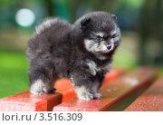 Купить «Портрет маленького щенка померанского шпица», фото № 3516309, снято 15 мая 2012 г. (c) Сергей Лаврентьев / Фотобанк Лори