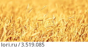 Купить «Спелые желтые колосья пшеницы», фото № 3519085, снято 9 июля 2010 г. (c) Евгений Захаров / Фотобанк Лори