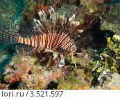 Купить «Крылатка-зебра, рыба-зебра или полосатая крылатка (Pterois volitans) на фоне кораллового рифа», фото № 3521597, снято 13 декабря 2011 г. (c) Сергей Дубров / Фотобанк Лори