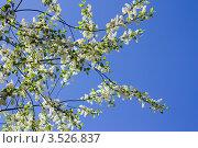 Купить «Цветущая черемуха», фото № 3526837, снято 19 мая 2012 г. (c) Катерина Макарова / Фотобанк Лори