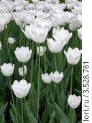 Поле белых тюльпанов. Стоковое фото, фотограф light / Фотобанк Лори