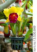 Купить «Орхидея, Тайланд», фото № 3530849, снято 5 сентября 2011 г. (c) ElenArt / Фотобанк Лори