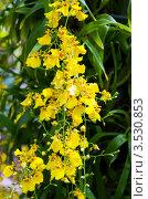 Купить «Орхидея, Тайланд», фото № 3530853, снято 5 сентября 2011 г. (c) ElenArt / Фотобанк Лори