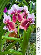 Купить «Орхидея, Таиланд», фото № 3530925, снято 5 сентября 2011 г. (c) ElenArt / Фотобанк Лори