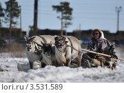 Олени и погонщик (2012 год). Редакционное фото, фотограф Василий Клинов / Фотобанк Лори