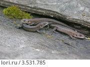 Три живородящих ящерицы (Lacerta vivipara) Стоковое фото, фотограф Анатолий Палатов / Фотобанк Лори