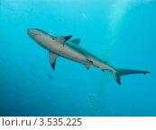Купить «Карибская рифовая акула (Caribbean reef shark, Carcharhinus perezi)», фото № 3535225, снято 13 декабря 2011 г. (c) Сергей Дубров / Фотобанк Лори