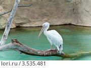 Пеликан сидит на сухом бревне над водоемом (2012 год). Стоковое фото, фотограф юлия заблоцкая / Фотобанк Лори