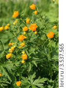 Купить «Купавки цветут», эксклюзивное фото № 3537565, снято 19 мая 2012 г. (c) Щеголева Ольга / Фотобанк Лори
