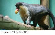 Купить «Обезьяна с яблоком», видеоролик № 3538681, снято 11 февраля 2009 г. (c) Losevsky Pavel / Фотобанк Лори