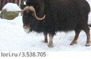 Купить «Мускусный бык», видеоролик № 3538705, снято 11 февраля 2009 г. (c) Losevsky Pavel / Фотобанк Лори