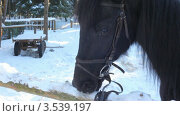 Купить «Конь ест снег», видеоролик № 3539197, снято 18 апреля 2009 г. (c) Losevsky Pavel / Фотобанк Лори