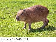 Купить «Капибара (Hydrochoerus hydrochaeris)», фото № 3545241, снято 9 мая 2010 г. (c) Игорь Долгов / Фотобанк Лори