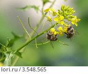 Пчелы опыляют сурепку. Стоковое фото, фотограф Сергей Жадов / Фотобанк Лори