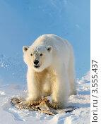 Купить «Молодой белый медведь», фото № 3555437, снято 8 марта 2012 г. (c) Максим Деминов / Фотобанк Лори