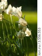 Купить «Белые тюльпаны на  зелёной траве», фото № 3556553, снято 16 мая 2012 г. (c) Иванова Марина / Фотобанк Лори