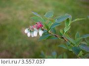 Голубика цветёт в саду. Стоковое фото, фотограф Юрий Горид / Фотобанк Лори