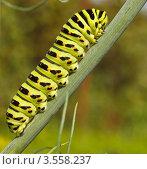 Салатовая гусеница. Стоковое фото, фотограф Александр Казаков / Фотобанк Лори