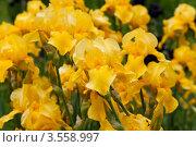 Купить «Желтые высокие бородатые ирисы», фото № 3558997, снято 1 июня 2012 г. (c) Наталья Волкова / Фотобанк Лори