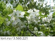 Цветы яблони. Стоковое фото, фотограф Артём Калинников / Фотобанк Лори