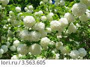 Купить «Калина Бульденеж, или Снежный шар (лат. Viburnum opulus var sterile)», эксклюзивное фото № 3563605, снято 24 мая 2012 г. (c) Елена Коромыслова / Фотобанк Лори