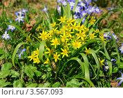 Купить «Гусиный лук (Gagea)», фото № 3567093, снято 26 апреля 2011 г. (c) Алёшина Оксана / Фотобанк Лори