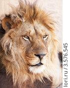 Купить «Портрет льва», фото № 3576545, снято 6 апреля 2009 г. (c) Дмитрий Калиновский / Фотобанк Лори