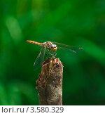 Купить «Стрекоза Симпетрум (Sympetrum flaveolum) самец», эксклюзивное фото № 3580329, снято 13 июля 2011 г. (c) Алёшина Оксана / Фотобанк Лори