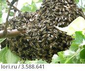 Пчёлы. Стоковое фото, фотограф Анастасия Баранова / Фотобанк Лори