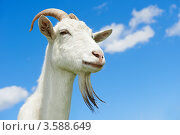 Купить «Белая коза на фоне неба», фото № 3588649, снято 3 июня 2012 г. (c) Дмитрий Калиновский / Фотобанк Лори