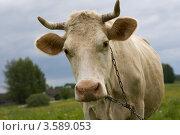 Купить «Корова», фото № 3589053, снято 1 июня 2012 г. (c) Валерий Пчелинцев / Фотобанк Лори