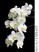 Купить «Белая орхидея на черном фоне», фото № 3589677, снято 13 июня 2012 г. (c) Ласточкин Евгений / Фотобанк Лори