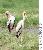Купить «Два аиста, Кения», фото № 3590213, снято 7 июня 2012 г. (c) Екатерина Овсянникова / Фотобанк Лори