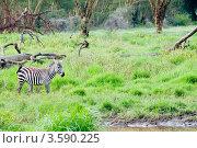 Купить «Зебра. Кения», фото № 3590225, снято 7 июня 2012 г. (c) Екатерина Овсянникова / Фотобанк Лори