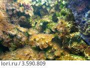 Актинии на коралловом рифе. Стоковое фото, фотограф Irina Kolokolnikova / Фотобанк Лори
