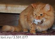 Купить «Кошка поймала мышку», фото № 3591077, снято 3 февраля 2012 г. (c) Олег Волков / Фотобанк Лори