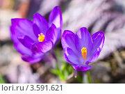 Купить «Два крокуса», фото № 3591621, снято 19 апреля 2012 г. (c) Анастасия Мелешкина / Фотобанк Лори