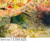 Купить «Зеленая мурена (Green moray  / Gymnothorax funebris) в пещерке под кораллом», фото № 3593625, снято 13 декабря 2011 г. (c) Сергей Дубров / Фотобанк Лори