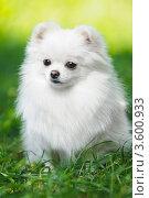 Купить «Белый пушистый щенок померанского шпица на траве», фото № 3600933, снято 18 августа 2011 г. (c) Евгений Захаров / Фотобанк Лори