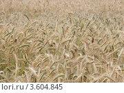 Пшеничное поле. Стоковое фото, фотограф djandre77 / Фотобанк Лори