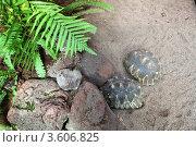 Два черепахи на песке возле камней. Стоковое фото, фотограф Irina Kolokolnikova / Фотобанк Лори