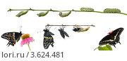 Купить «Метаморфоз бабочки  Черный парусник, парусник поликсена», фото № 3624481, снято 19 января 2019 г. (c) Ирина Кожемякина / Фотобанк Лори