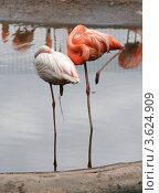 Фламинго. Стоковое фото, фотограф Алексей Судариков / Фотобанк Лори